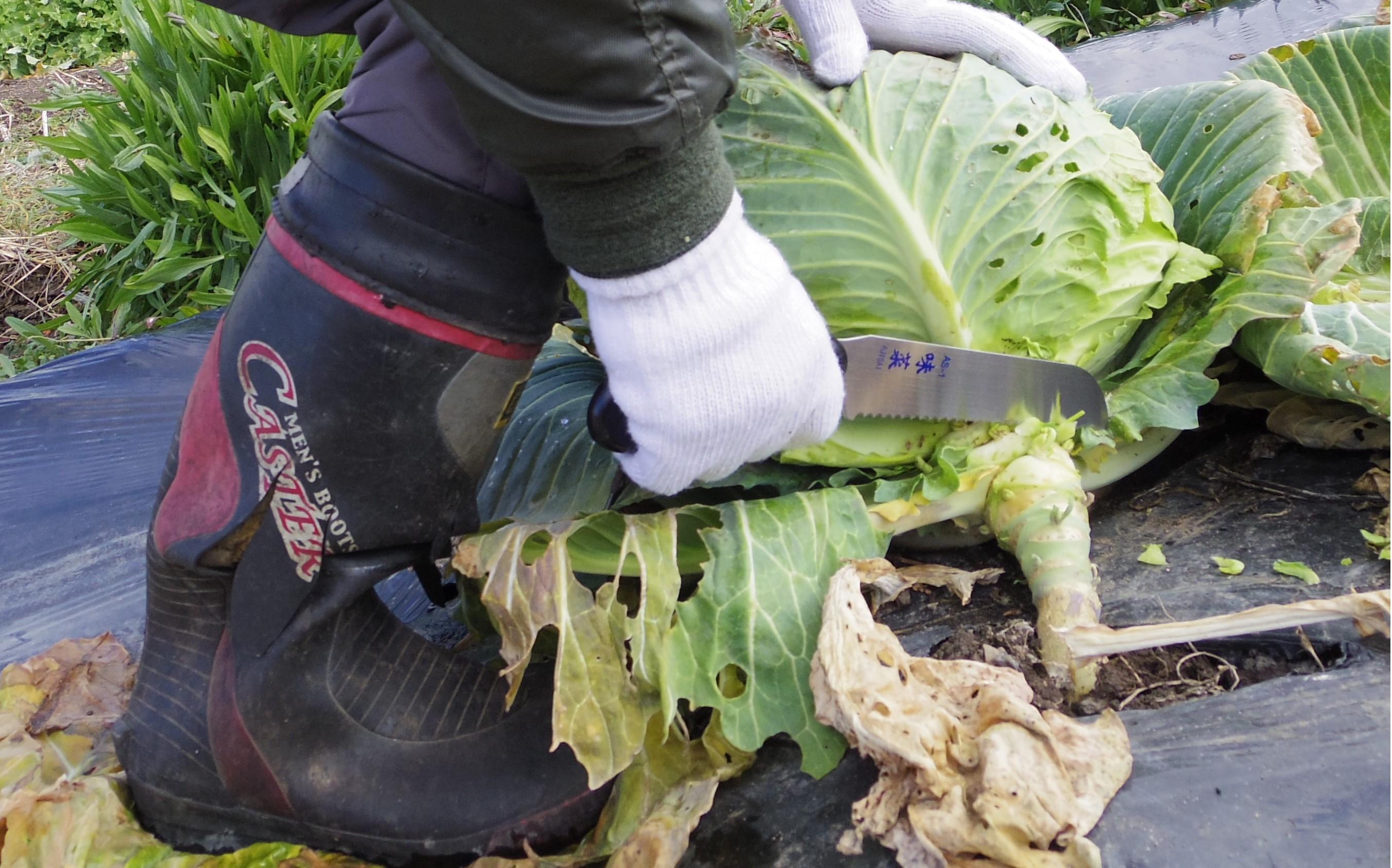 味菜 角度が変わる収穫野菜切