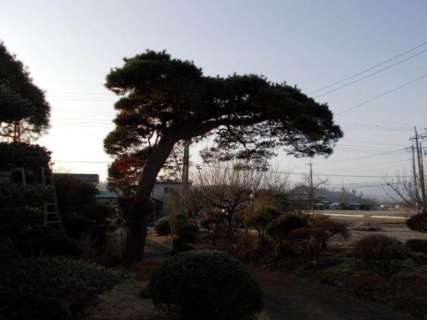 赤松の手入れ(大木)