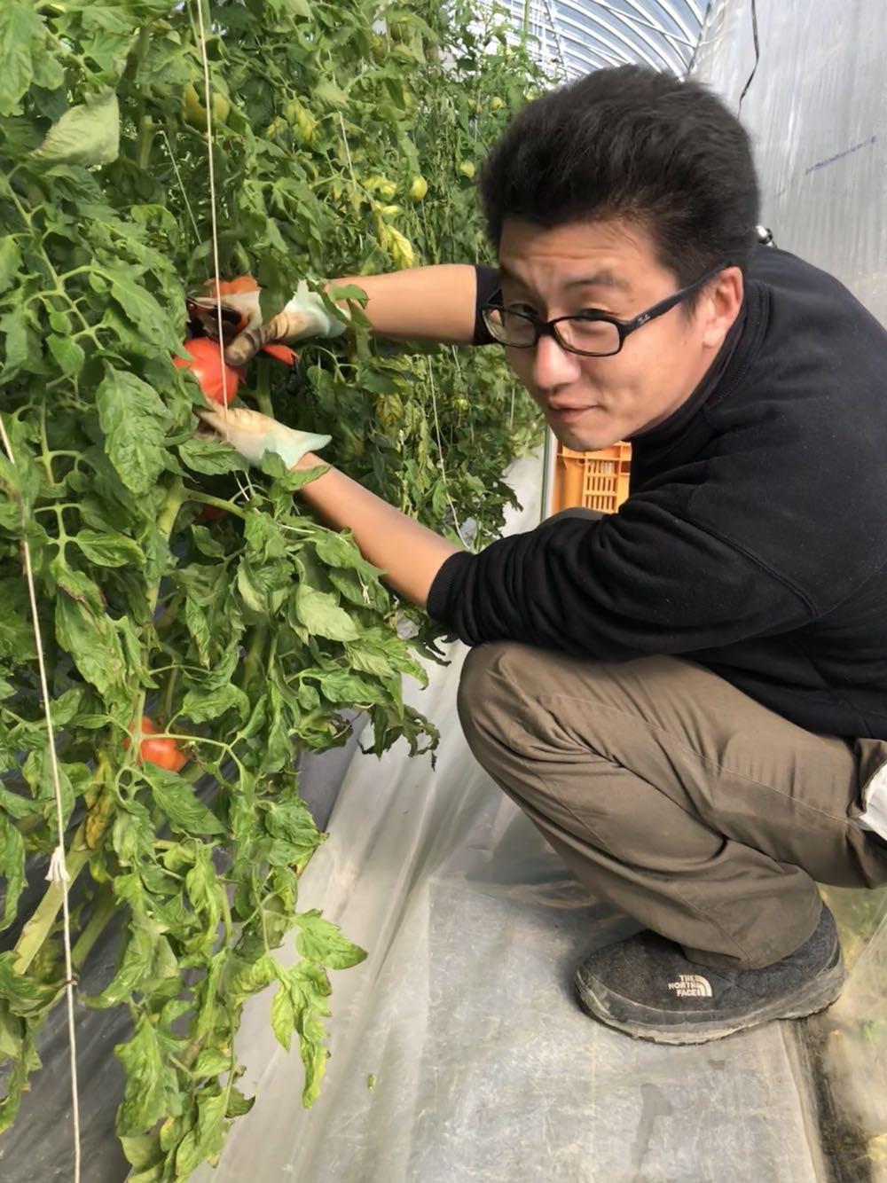 高糖度トマト  収穫中