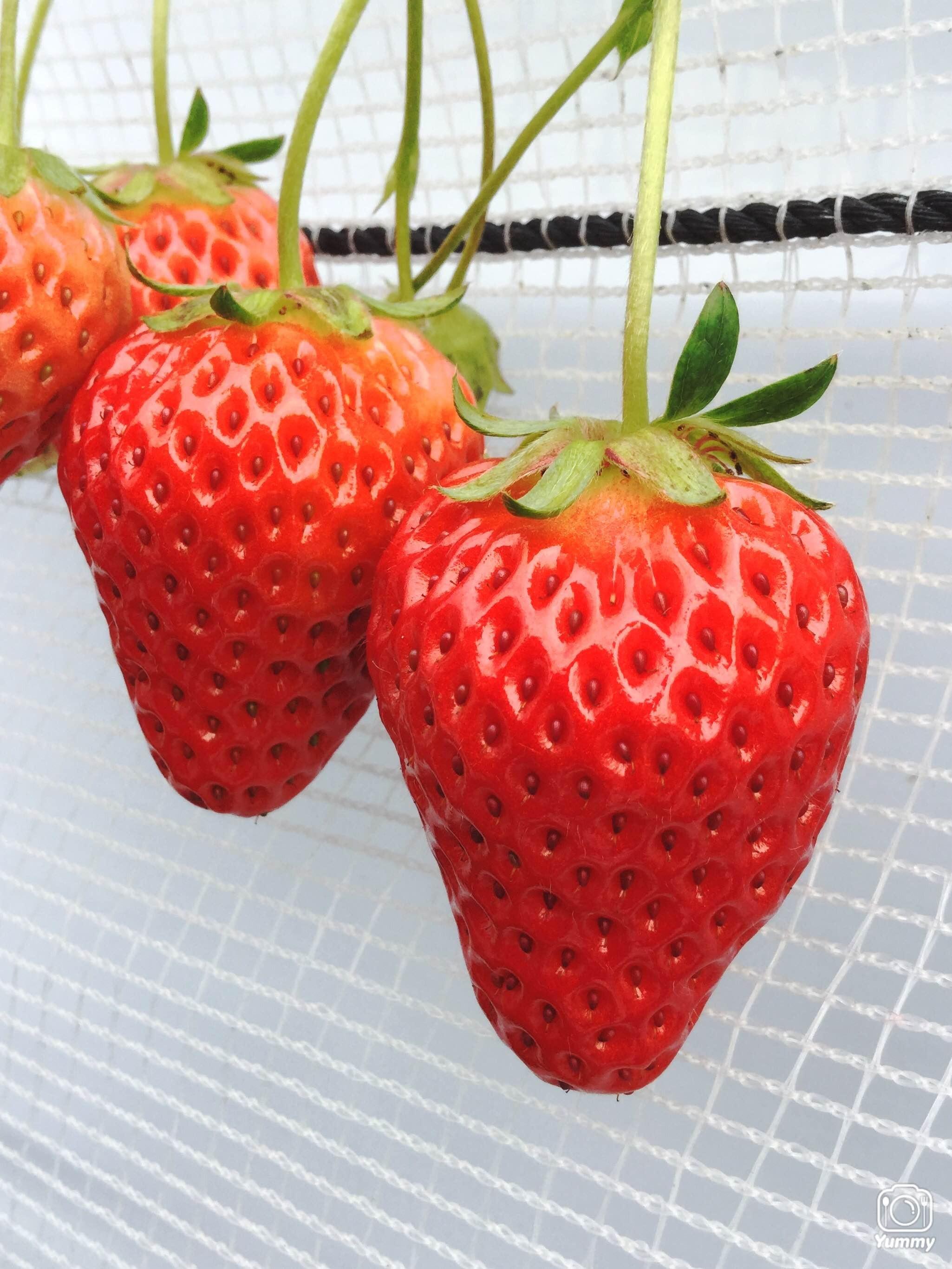 粒が大きく鮮やかな紅色をしていて、果肉が赤くなるのが特徴です。 「章姫×さちのか」として静岡で誕生し、2002年に登録された品種です。 糖度が平均12〜13度と高く、たっぷりの甘みの中に適度な酸味が調和しています。
