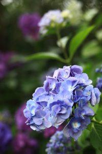 紫陽花(香椎花園)