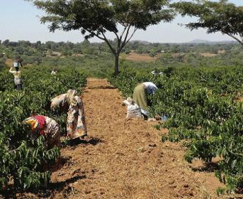 タンザニア カンジラルジ農園 キボーAA
