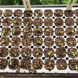 夏播きルバーブ。発芽率90パーセント以上!