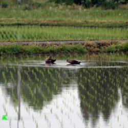 田植えの終わった田にカモが。画像