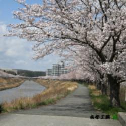 三田市武庫川の桜 NEW!画像