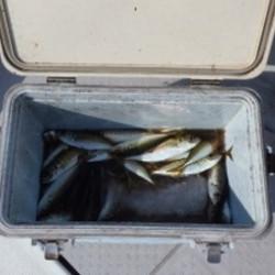 近場のアジ釣り