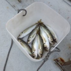 ぶらり、アジ釣りに