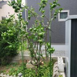茨城支社の庭、この蜜柑の木に実った蜜柑が食べごろです